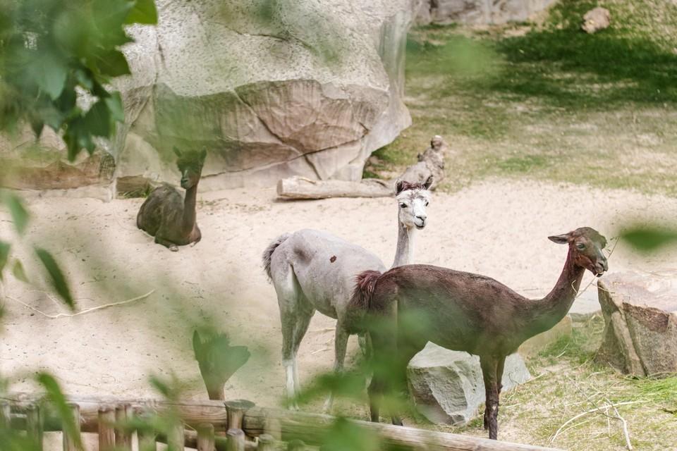 Het panoramaperk van de Zoo heeft nieuwe bewoners: alpaca's.
