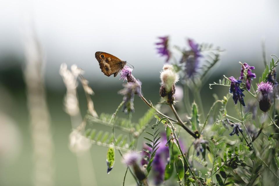 Vooral de aan graslanden gebonden dagvlinders, zoals het zandoogje, zijn in Vlaanderen bedreigd.